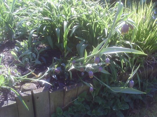 Fritillaria uva-vulpis (Fritillaria uva-vulpis (Foxs Grape))