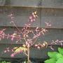 Acer_palmatum_orido_nishiki_