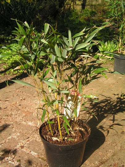 Phyllostachys aureosulcata 'Aureocaulis' (Phyllostachys aureosulcata 'Aureocaulis')