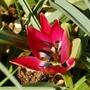 """Tulip """"Little Beauty"""" (Tulipa kaufmanniana (Water-Lily Tulip))"""