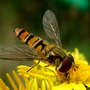 Hoverfly on Ragwort