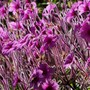 Close-up of my Geranium m. (Geranium maderense)