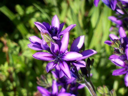 Purple Babiana stricta (Babiana stricta)
