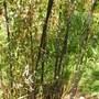 phyllostachis nigra (Phyllostachis nigra)