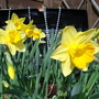 "Narcissus ""Fortune"""