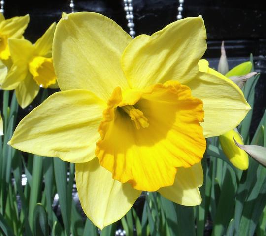 """Narcissus """"Fortune"""""""