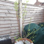 Deutzia Scabra shrub