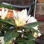 Dwarf Rhododendron 01