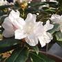 Dwarf Rhododendron 02