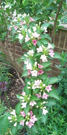 Weigela florida 'Versicolor' - 1 (Weigela florida)