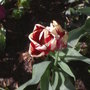 Deep Red & cream tulip