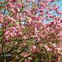 crab apple blossom april2011