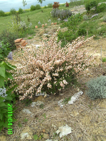broom Zeelandia (Cytisus)