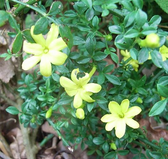 Jasminum parkeri (Jasminum parkeri)