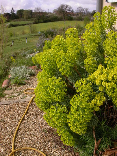 Euphorbia (Euphorbia Characias Wulfenii/Spurge)