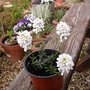 Iberis_sempervirens_candytuft