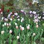 My tulips (Tulipa acuminata (Tulip))