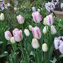 Pink company (Tulipa acuminata (Tulip))