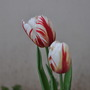 White_red_tulips