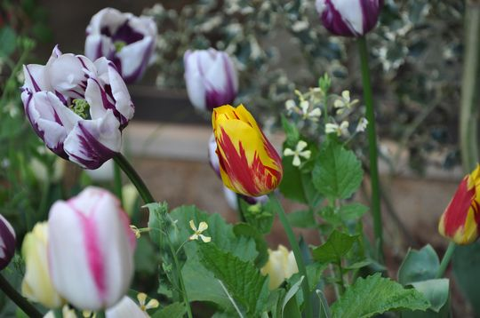 Red-yellow beauty showing off (Tulipa acuminata (Tulip))