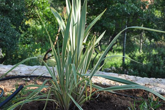 Phormium (variegated) (Phormium tenax (New Zealand flax))