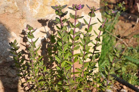 Polygala (Polygala myrtifolia (Bloukappies))