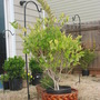 Wax Leaf Privet (Ligustrum) (Ligustrum)