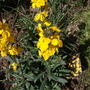 Erysimum Fragrant Sunshine (Erysimum Fragrant Sunshine)