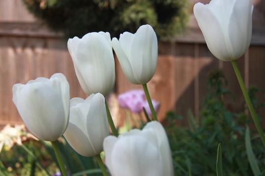 Tulips Maureen