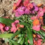 Erysimum Spice Island (Erysimum Spice Island)