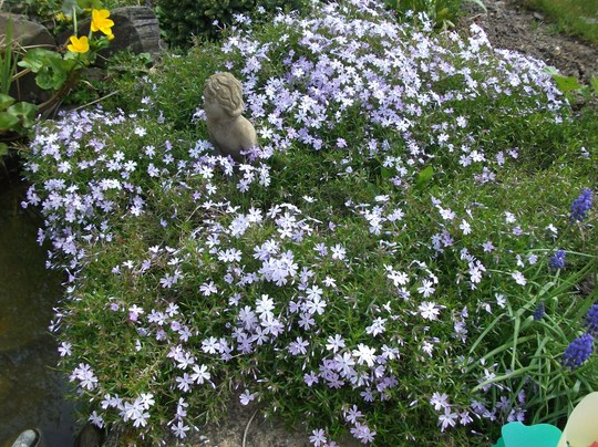Phlox subulata Emerald cushion blue  (Phlox subulata (Moss Phlox))