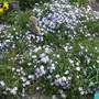 Phlox_subulata_emerald_cushion_blue