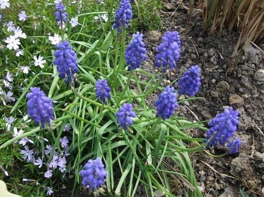 Muscari armeniacum  (Muscari armeniacum (Grape hyacinth))