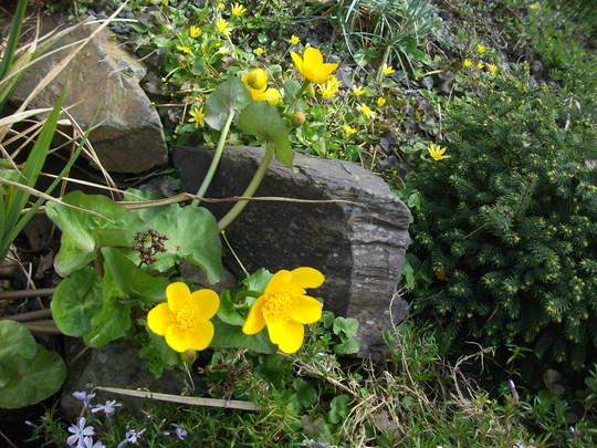 Caltha Polypetaia giant marsh marigold (Caltha Polypetala ( Giant Marsh marigold)