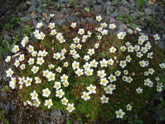 Saxifraga white pixie in its full glory (Saxifraga	'White Pixie')