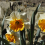 Spring in my garden (Narcissus)