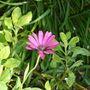 Dimorphotheca_auranthiaca_purpurea