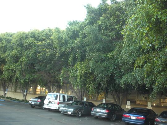 Ficus benjamina - Weeping Figs in Old Town - San Diego, CA. (Ficus benjamina - Weeping Fig)