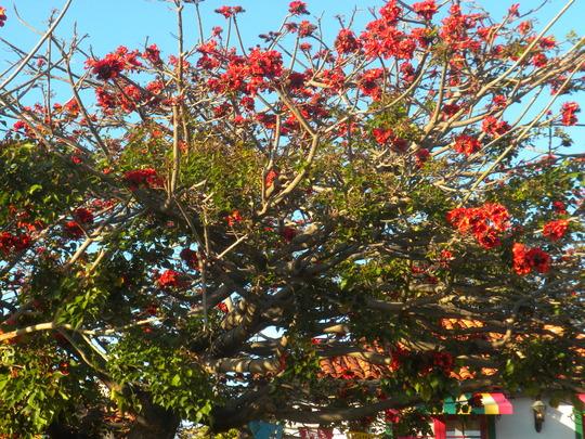 Erythrina caffra - Kaffir Coral Tree (Erythrina caffra - Kaffir Coral Tree)