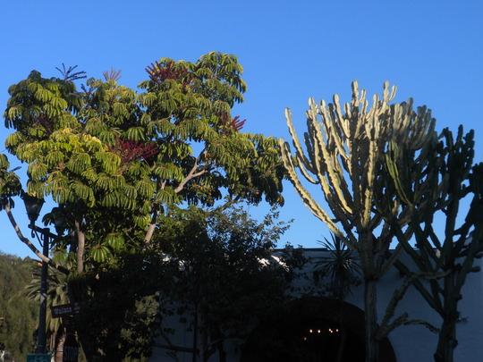 Schefflera actinophylla - Umbrella Tree and Euphorbia ammak - African Cadelabra Tree                      (Schefflera actinophylla - Umbrella Tree, Euphorbia ammak - African Cadelabra Tree)