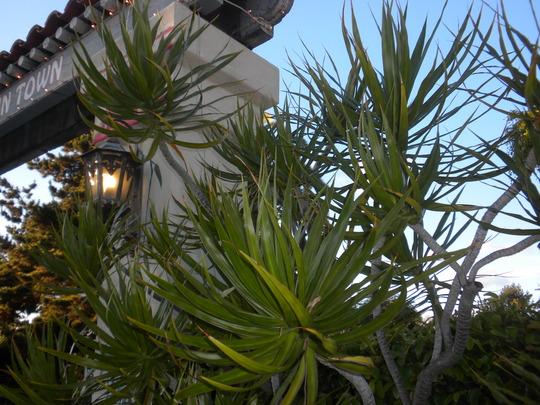 Plant_Pics_04_09_11_22_ Palmate House Plants on perennial plants, parsnip plants, rosette plants, leafy plants, south west plants, simple plants, parkway plants,