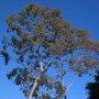 Corymbia citriodora (FKA: Eucalyptus citriodora) -  Lemon-Scented Gum (Corymbia citriodora - Lemon-Scented Gum)