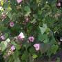 My Abutilon hybrid 'Pink' in the front yard (Abutilon hybrid 'Pink')