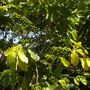 My Coffea arabica - Coffee Tree  (Coffea arabica - Coffee Tree)