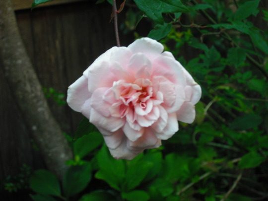 Rose in Katoomba (Rosa)