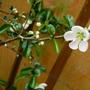 Chaenomeles Speciosa 'Nivalis' (Chaenomeles speciosa (Flowering quince))