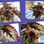 Begonia Rex  Fireworks