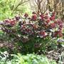 Hellebores (Ashwood Garden hybrids) at RHS Rosemoor