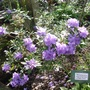 Rhododendron hippophaeoides   'Haba Shan'