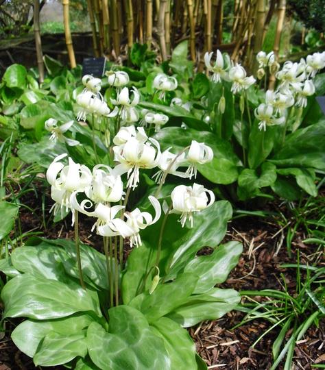 Erythronium californicum  'White Beauty'    (Dog's-tooth violet) (Erythronium californicum (Dog's-tooth violet))